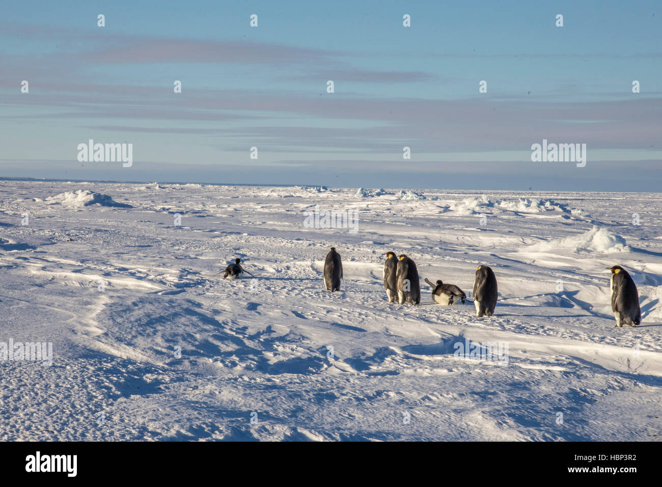 Adult Emperor Penguins return from the sea - Stock Image