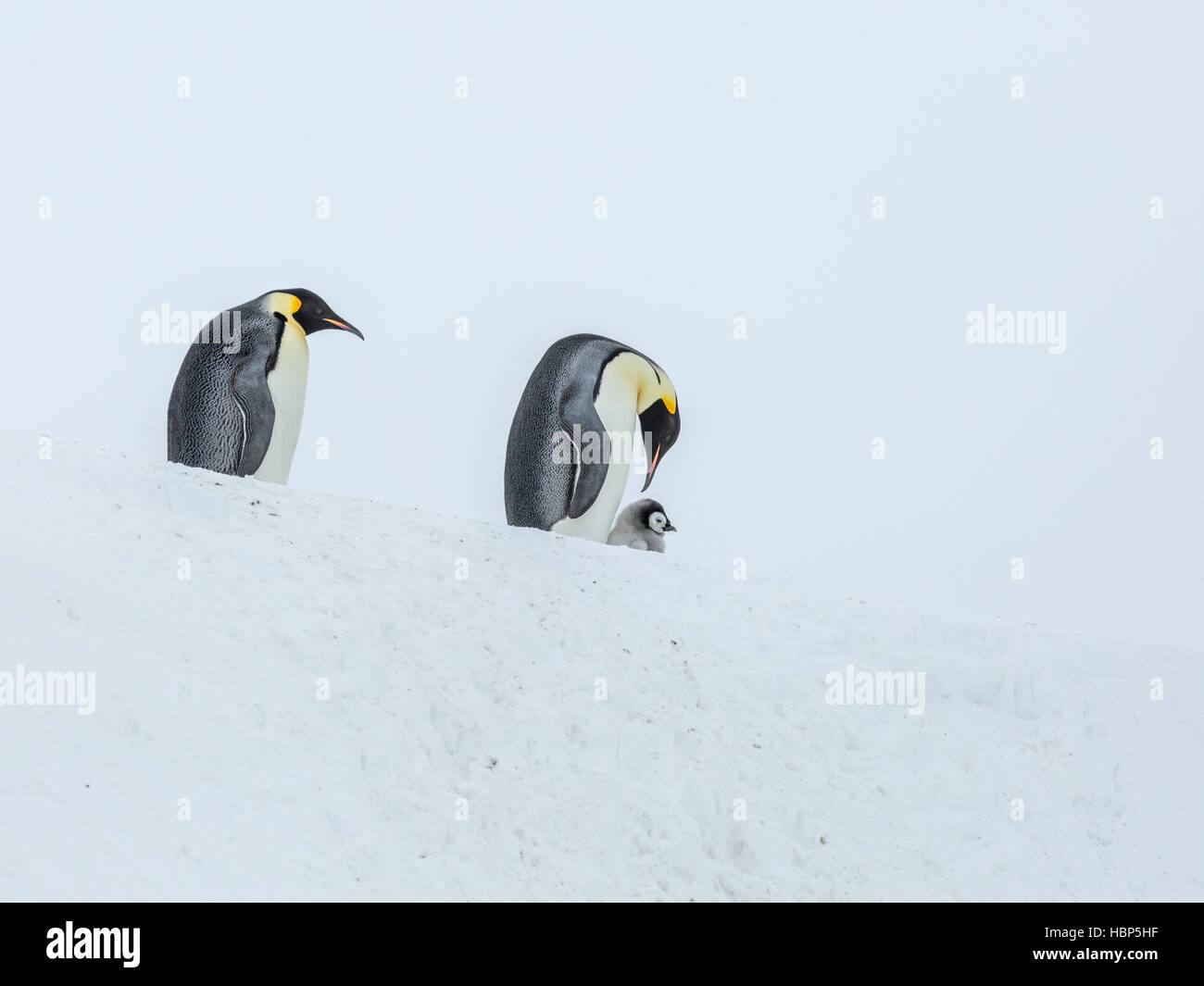 An Emperor Penguin chick with two adults on an ice ramp - Stock Image