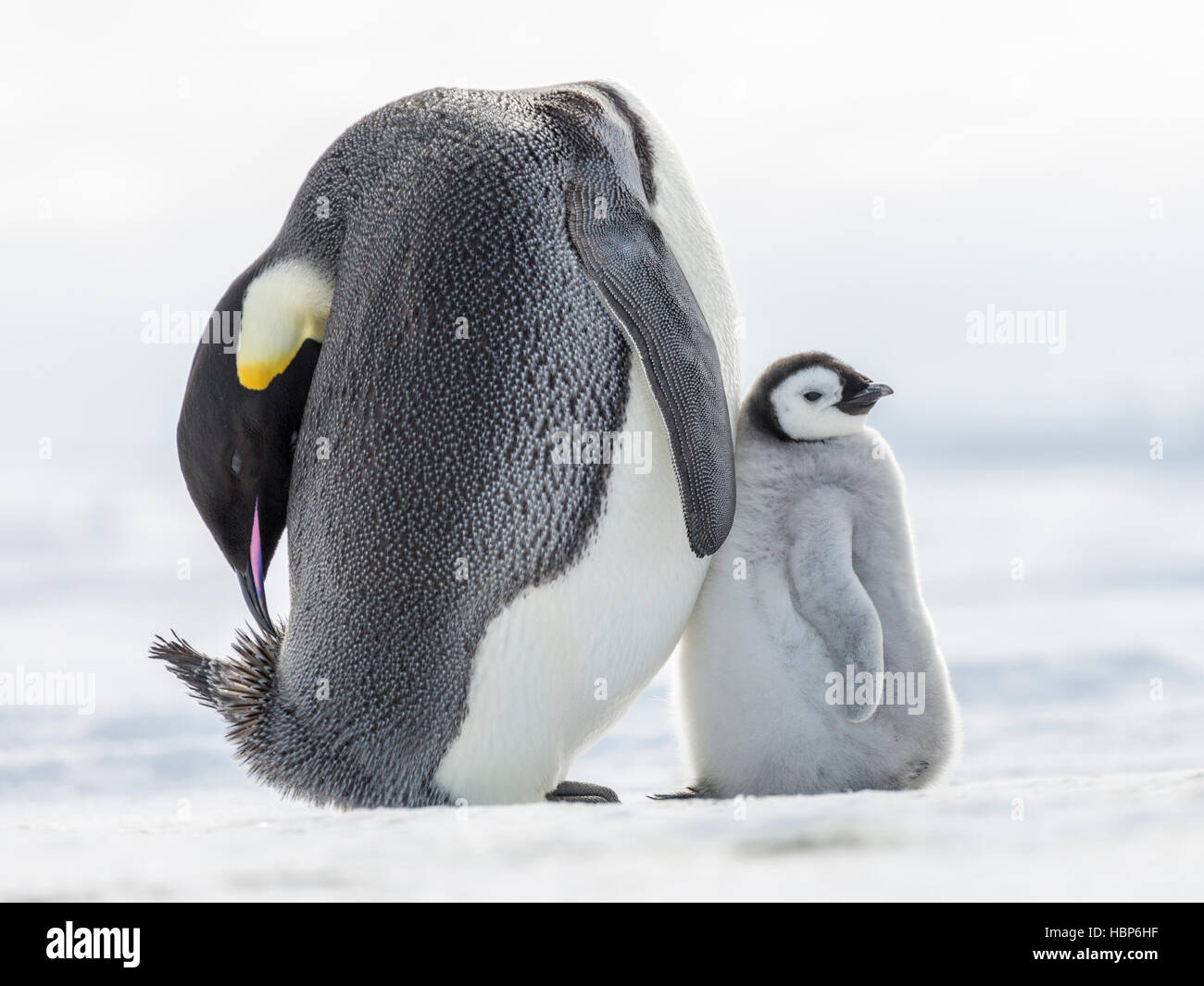 An Emperor Penguin chick leans against a parent who is busy preening - Stock Image