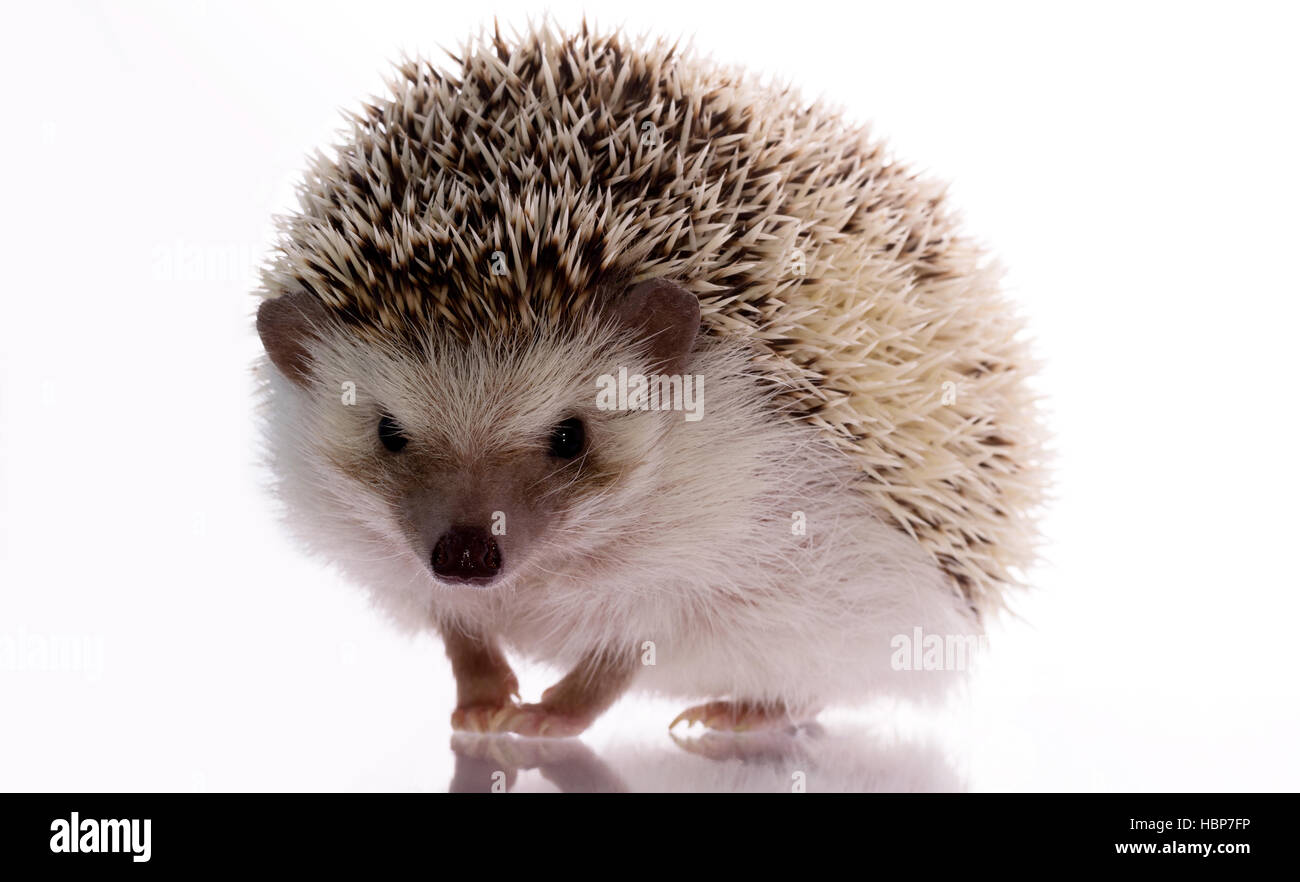 Little hedgehog on a white background, looking up with a smile and a reproach. Funny lovely pet - Stock Image