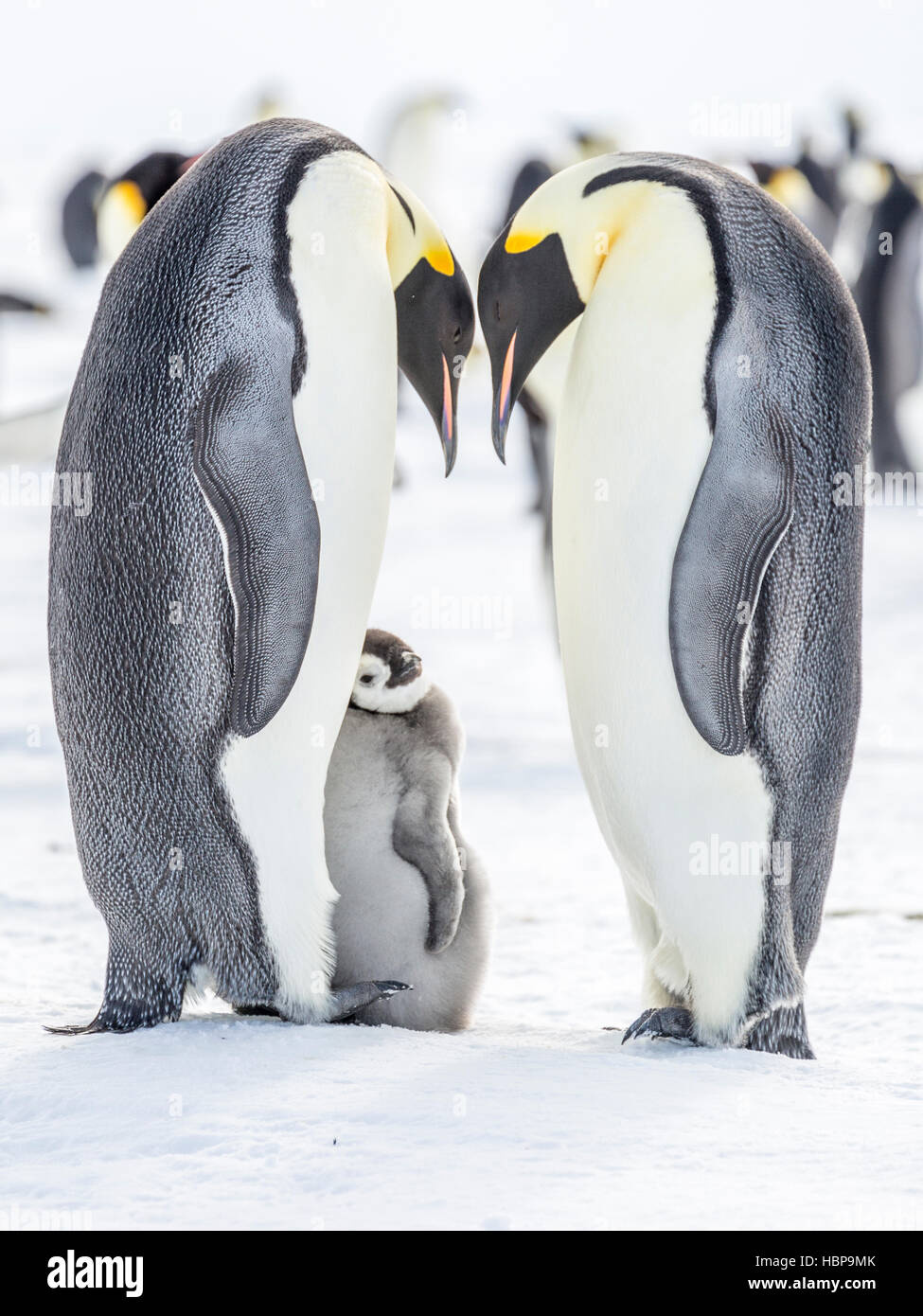 An Emperor Penguin chicks leans against a parent adult - Stock Image