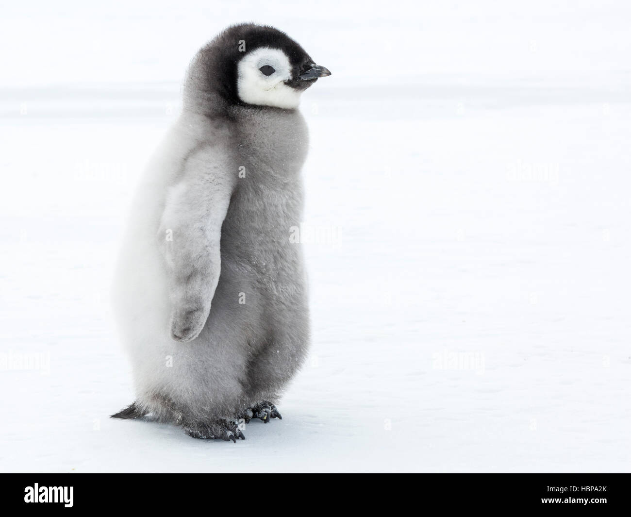 Emperor Penguin chick on the frozen Weddell Sea - Stock Image