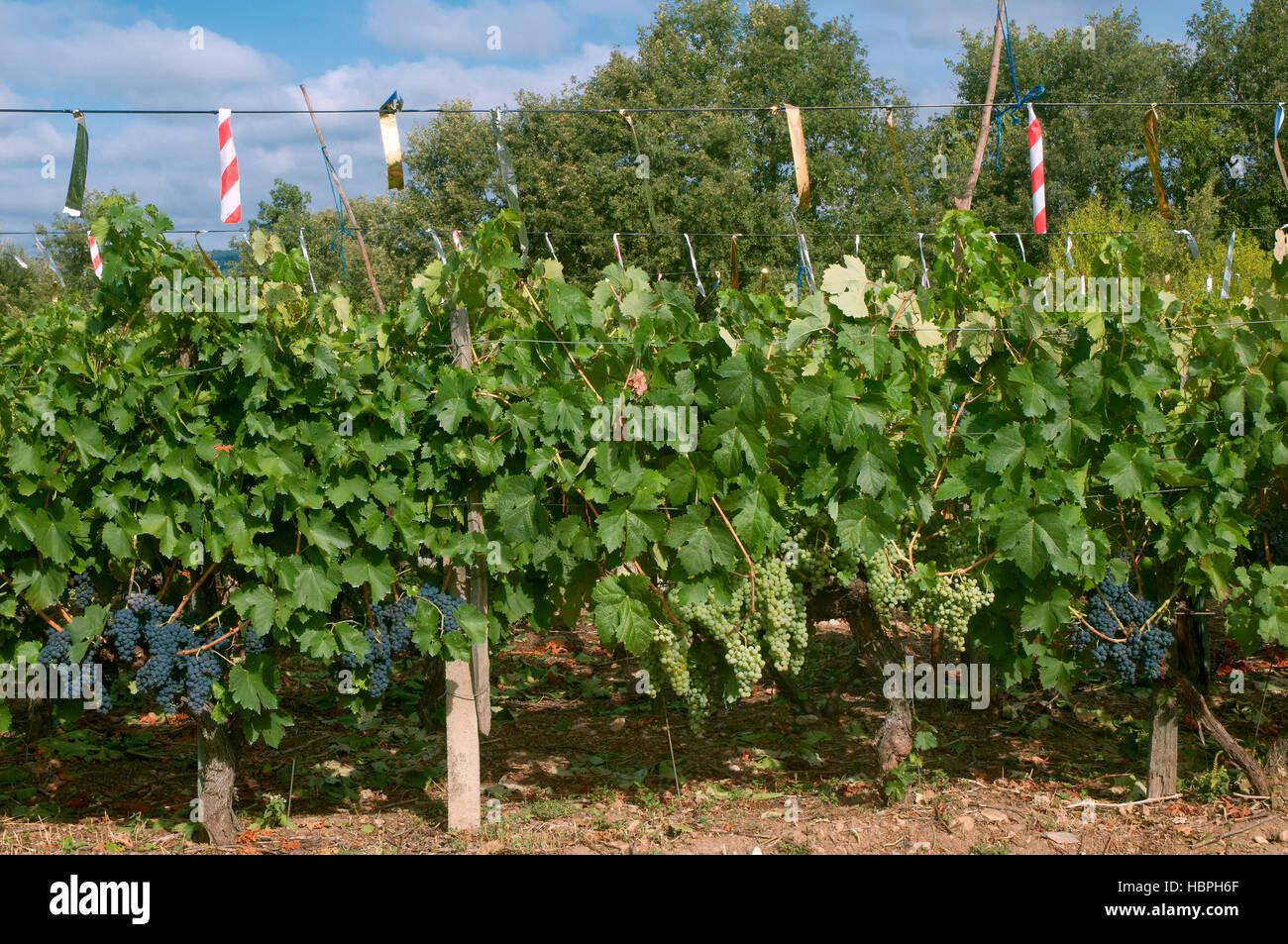 Vineyard, Ribeira Sacra, Sober, Lugo province, Region of Galicia, Spain, Europe - Stock Image