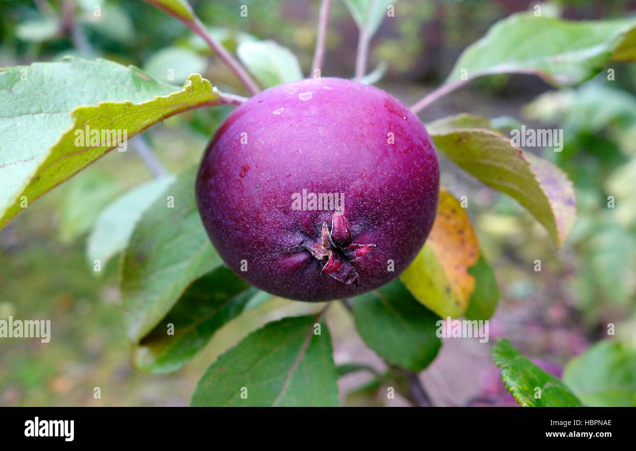 Malus domestica variety 'Tickled Pink' ( Baya ® Marisa ) Apple Tree - Stock Image