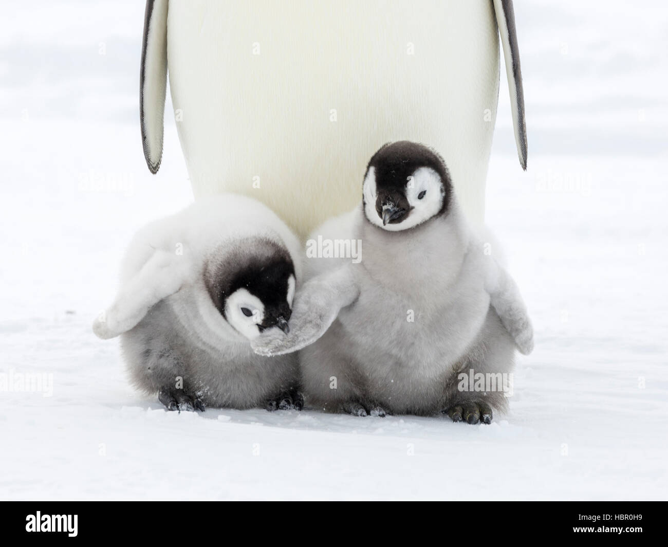 An Emperor Penguin chick takes a bite on the wing of a fellow chick - Stock Image