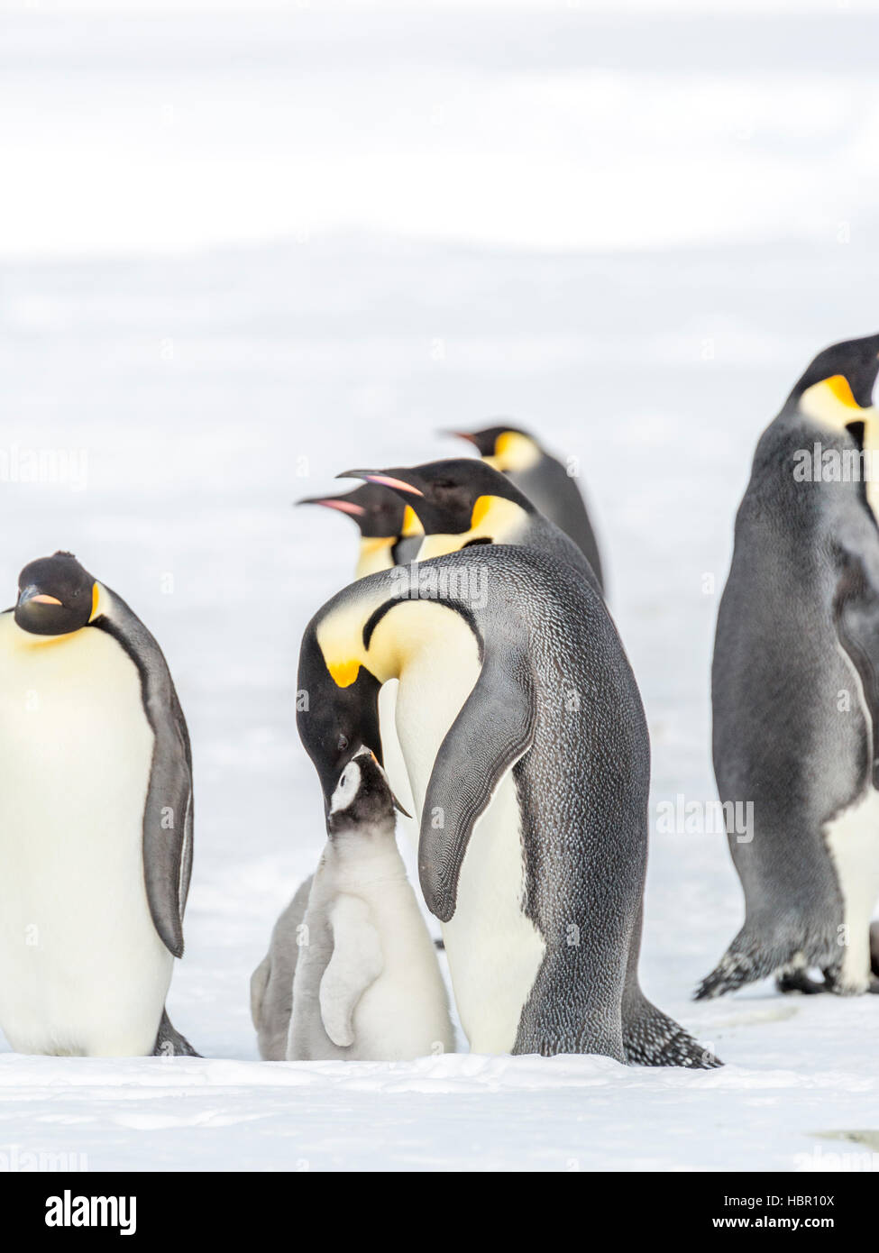 Emperor Penguin chick is fed by a parent - Stock Image