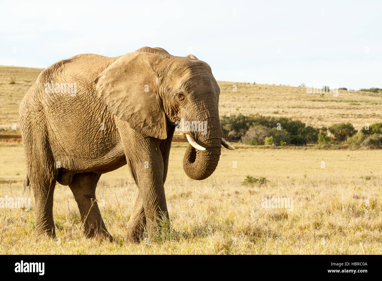 African Elephant Eating grass in a field - Stock Image