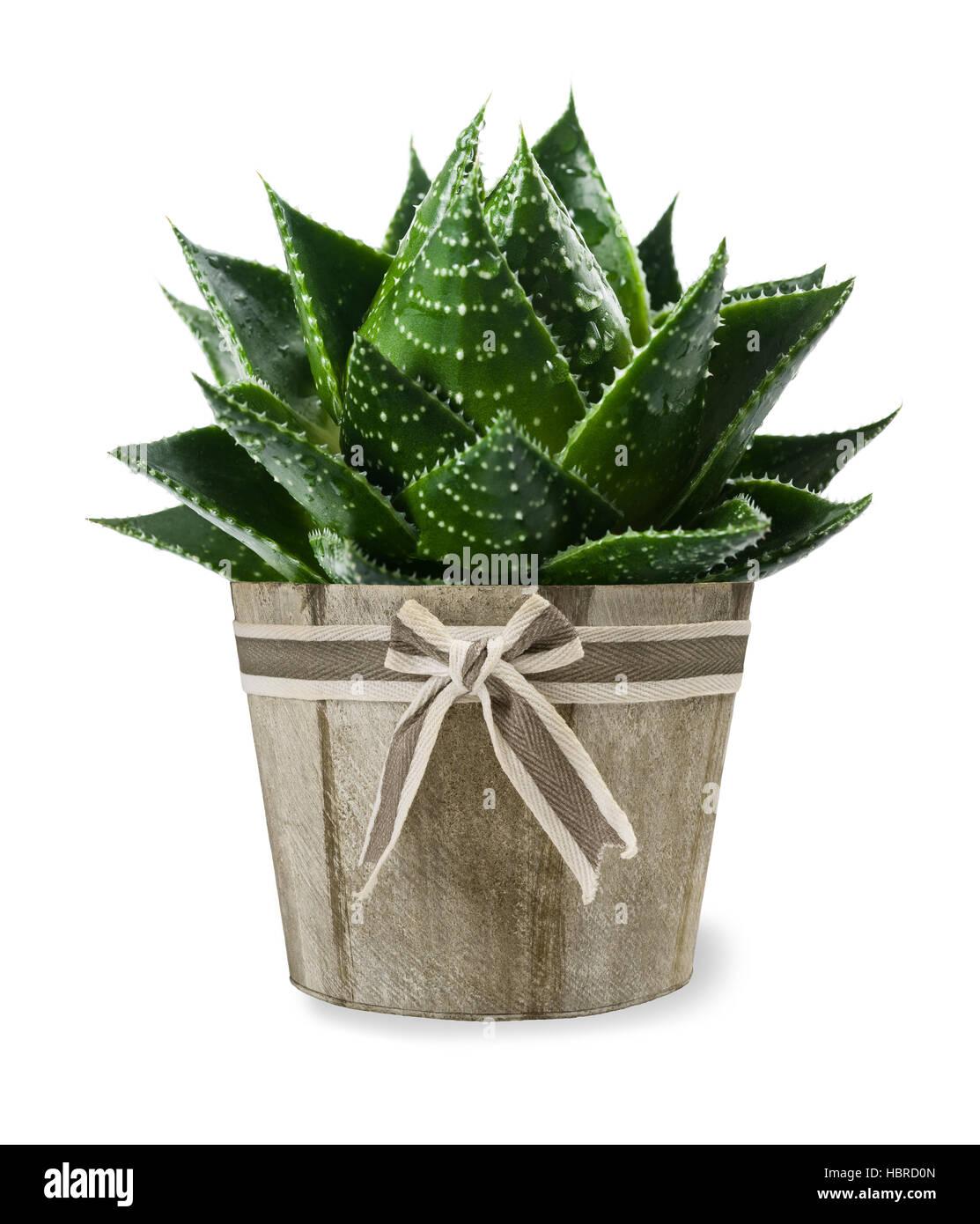 Aloe vera plant in vase isolated on white Stock Photo