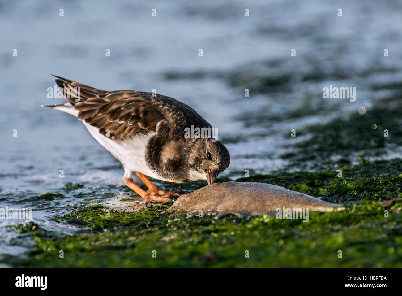 Ruddy turnstone (Arenaria interpres) in non-breeding winter plumage eating from dead fish on breakwater on beach - Stock Image