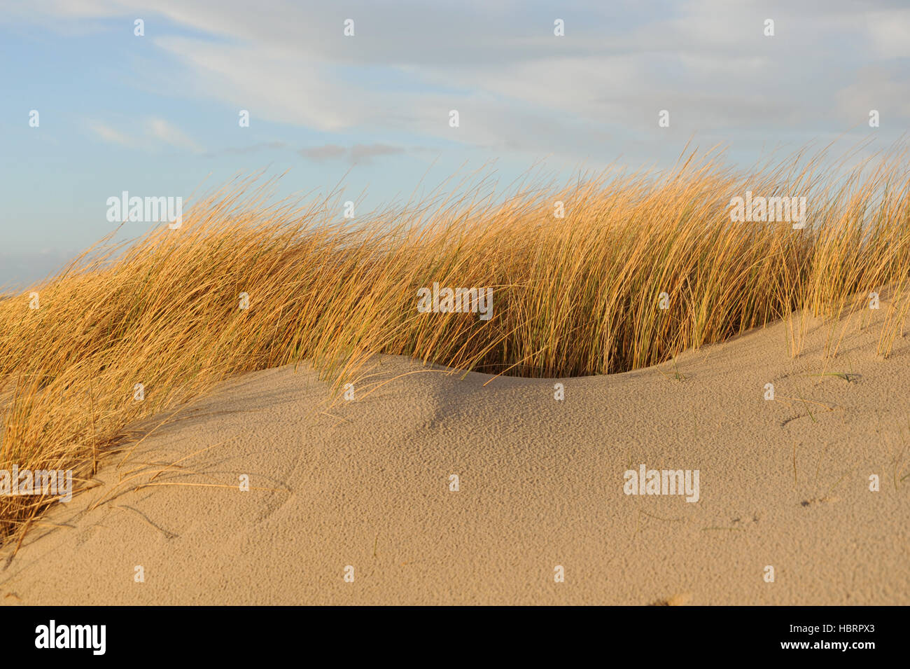 Sand dune and marram grass of Sylt - Stock Image