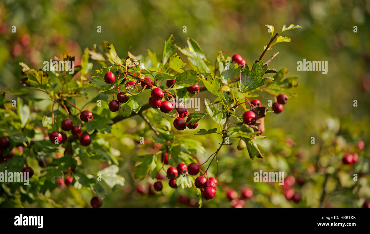 Background of red hawthorn berries, selective dof - Stock Image