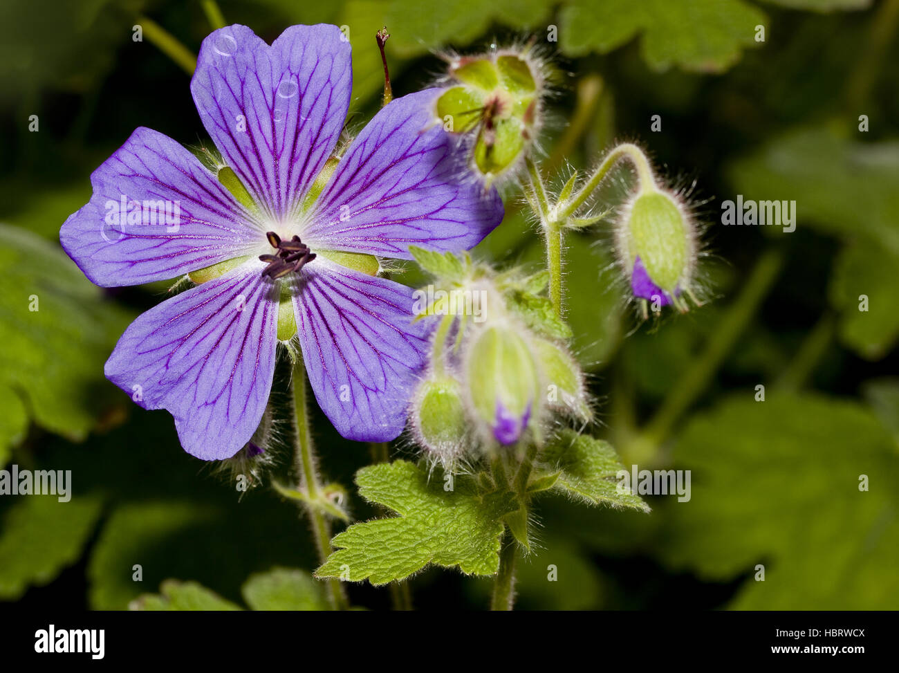 Medow  cranesbill   Geranium pratense Stock Photo