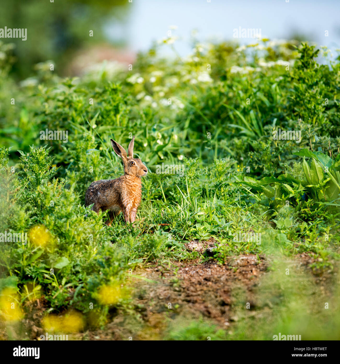 A brown hare emerges from cover to enjoy the warm morning sun. - Stock Image