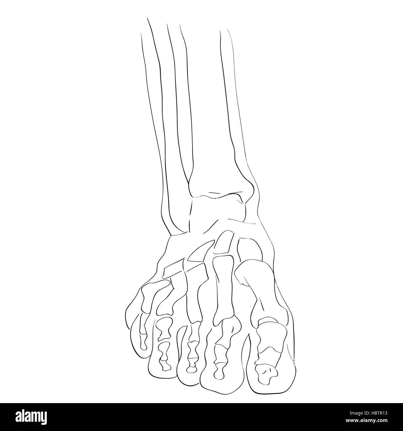 front view foot bones - Stock Image