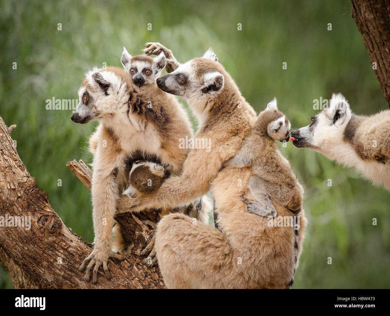 Ring-tailed lemur (Lemur catta) family - Stock Image
