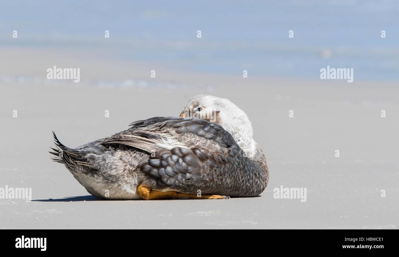 Falkland islands flightless steamer duck (Tachyeres brachypterus) adult male lying on sandy beach, Falkland Islands - Stock Image