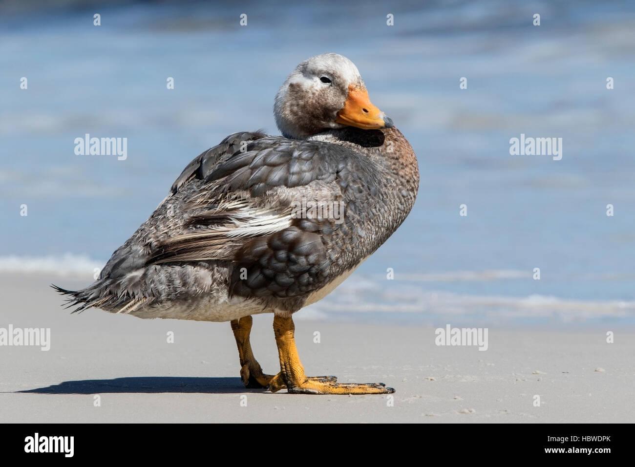 Falkland islands flightless steamer duck (Tachyeres brachypterus) adult male standing on sandy beach, Falkland Islands - Stock Image