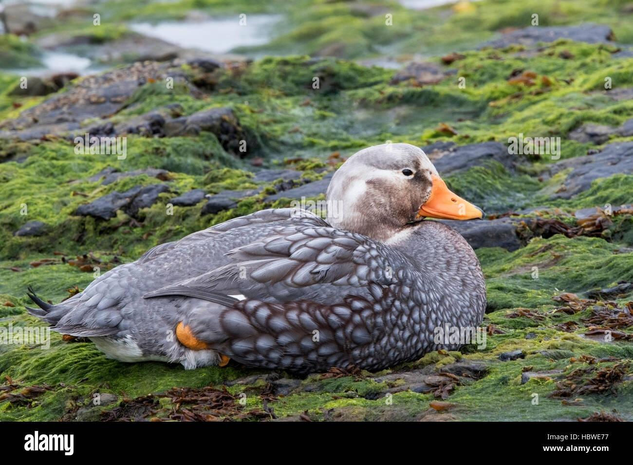 Falkland islands flightless steamer duck (Tachyeres brachypterus) adult male resting on seaweed covered rocks, Falkland - Stock Image