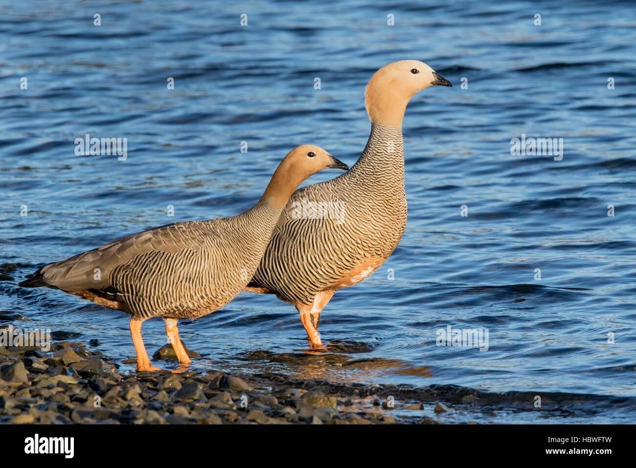 ruddy-headed goose (Chloephaga rubidiceps) pair of adults standing near  water on shoreline, Falkland Islands - Stock Image