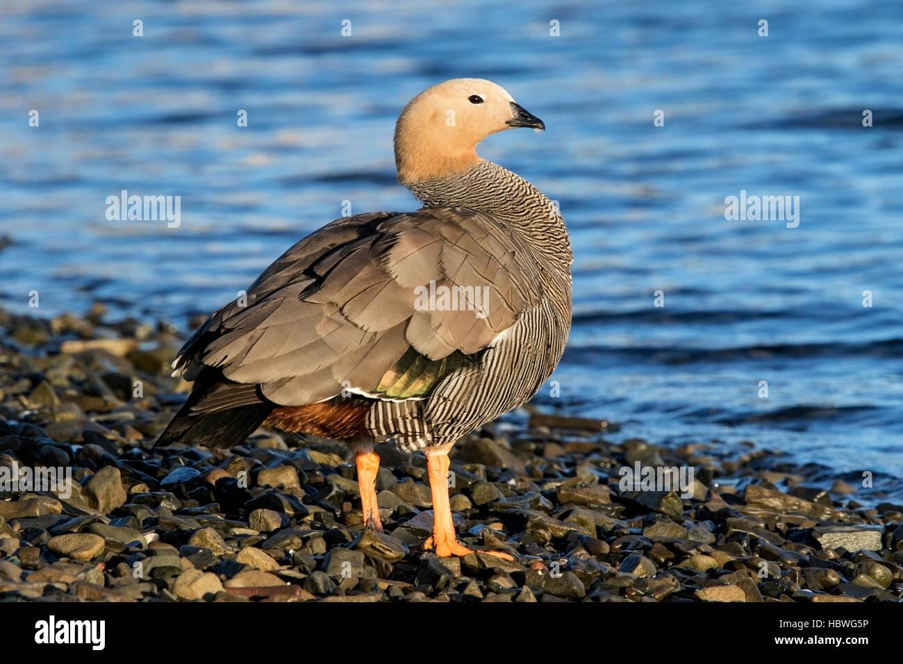 ruddy-headed goose (Chloephaga rubidiceps) adult bird standing near  water on shoreline, Falkland Islands - Stock Image