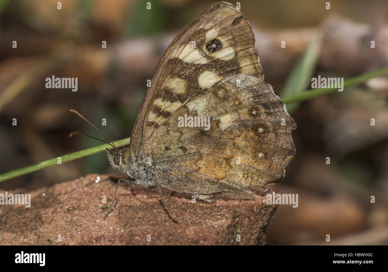 Speckled wood butterfly (Pararge aegeria) - Stock Image