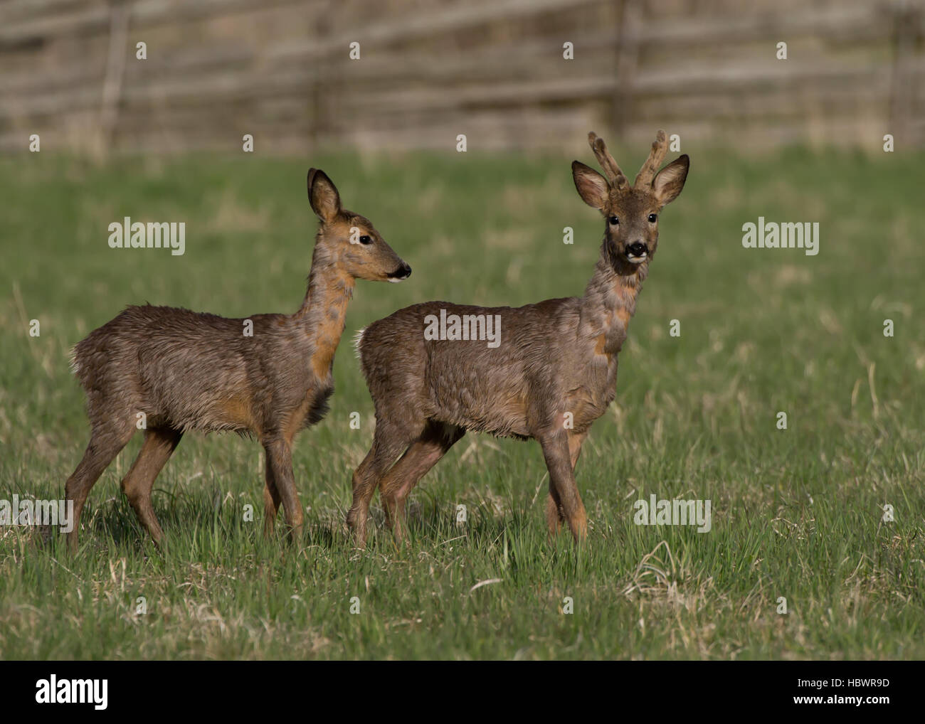 Deers, in springtime the roebuck with his goat searching for early vegetable - Stock Image