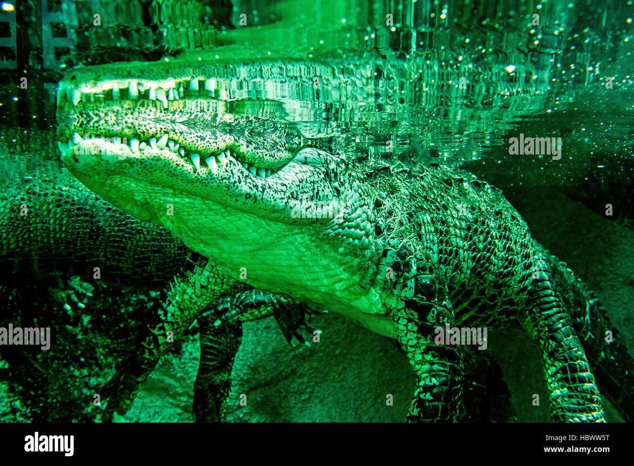alligator closeup at the zoo aquarium Stock Photo
