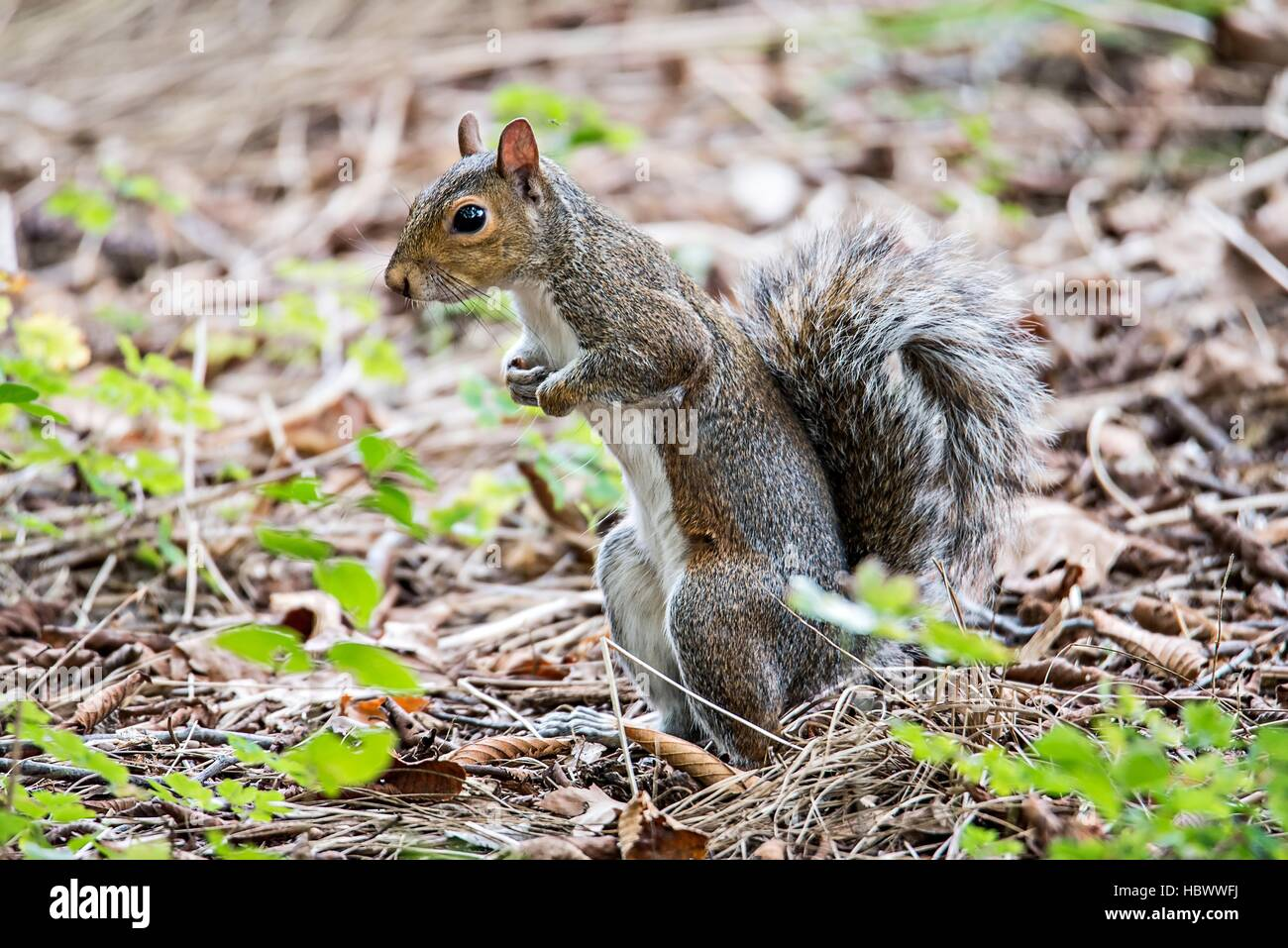 omnivorous rodent squirrel on ground - Stock Image