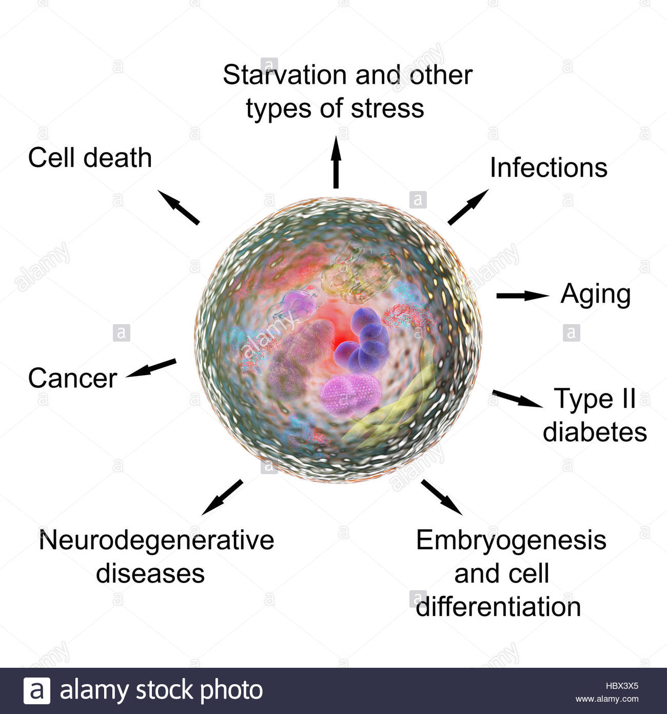 Functions of autophagy, computer illustration. Autophagy (autophagocytosis) is the natural mechanism that destroys - Stock Image