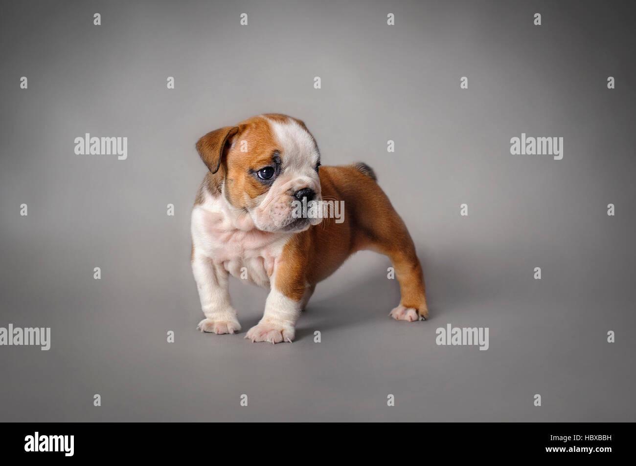 English Bulldog Puppy On Grey Background Stock Photo Alamy