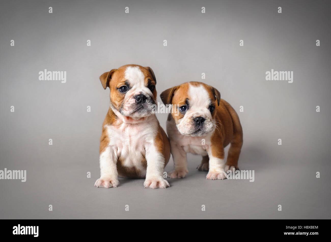 English Bulldog Puppies On Grey Background Stock Photo Alamy