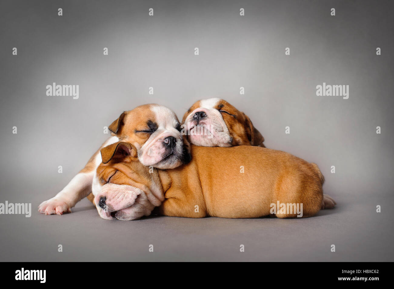 Sleeping English bulldog puppies on grey background - Stock Image