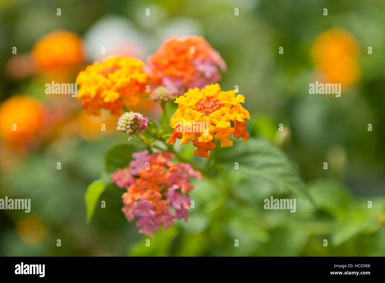 Lantana flowers (Lantana camara) - USA - Stock Image