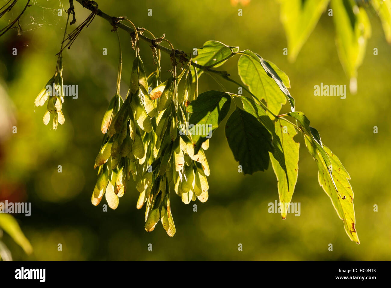 Box elder branches with seed pods, Wallowa Valley, Oregon. - Stock Image