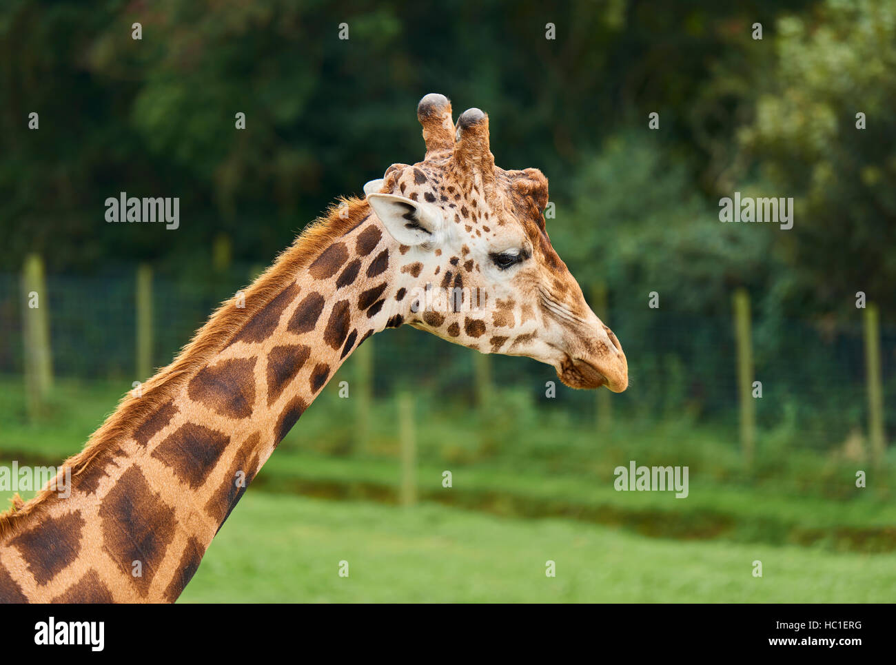 Giraffe neck and head looking right - Stock Image