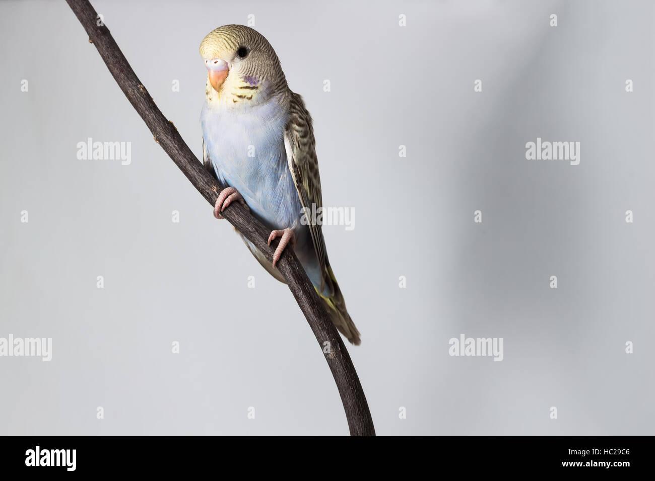 Little Budgerigar on white background - Stock Image