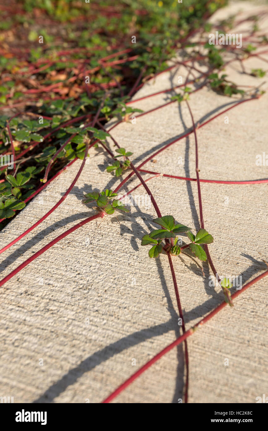 Strawberry plants spreading over a sidewalk in Coos Bay, Oregon. - Stock Image