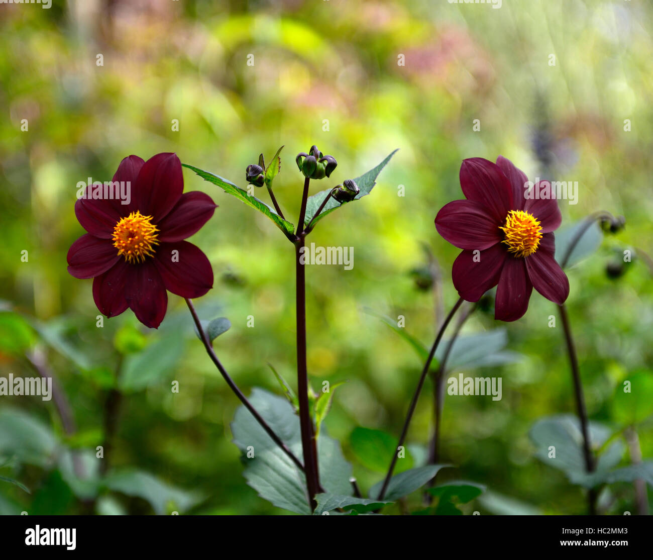 Two dahlia flowers stock photos two dahlia flowers stock images dark red purple single dahlia dahlias seedling two twin flowers flower flowering perennial rm floral izmirmasajfo