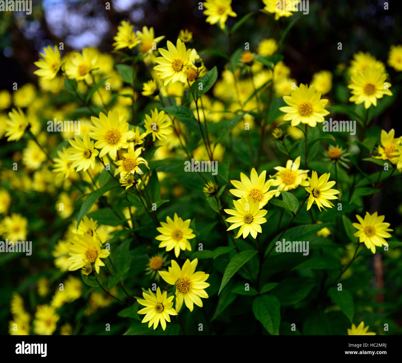 Yellow Perennial Tall Flower Stock Photos Yellow Perennial Tall