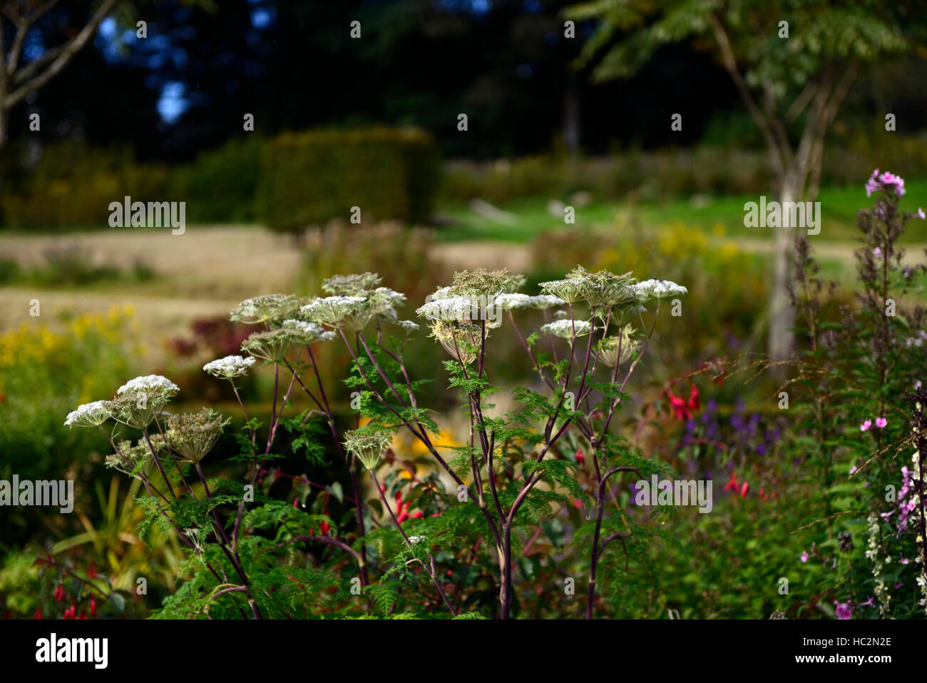 Anthriscus flowers flowerhead soft morning light mix mixed plant planting scheme bed border RM floral - Stock Image