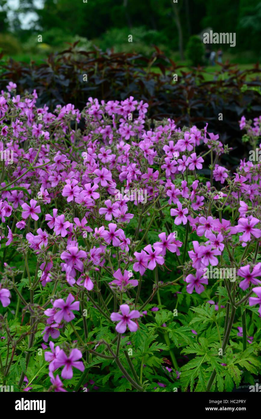 geranium maderense Madeira Cranesbill pink magenta plant plants flower flowers garden tender perennial RM Floral - Stock Image