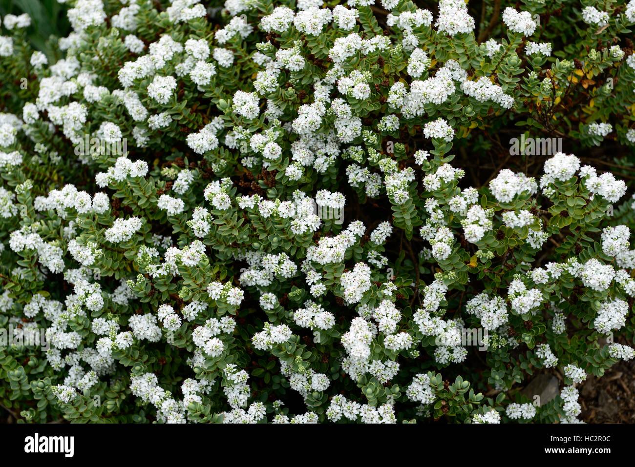 Hebe Cockayniana Hebes White Flower Flowers Flowering Shrub Shrubs