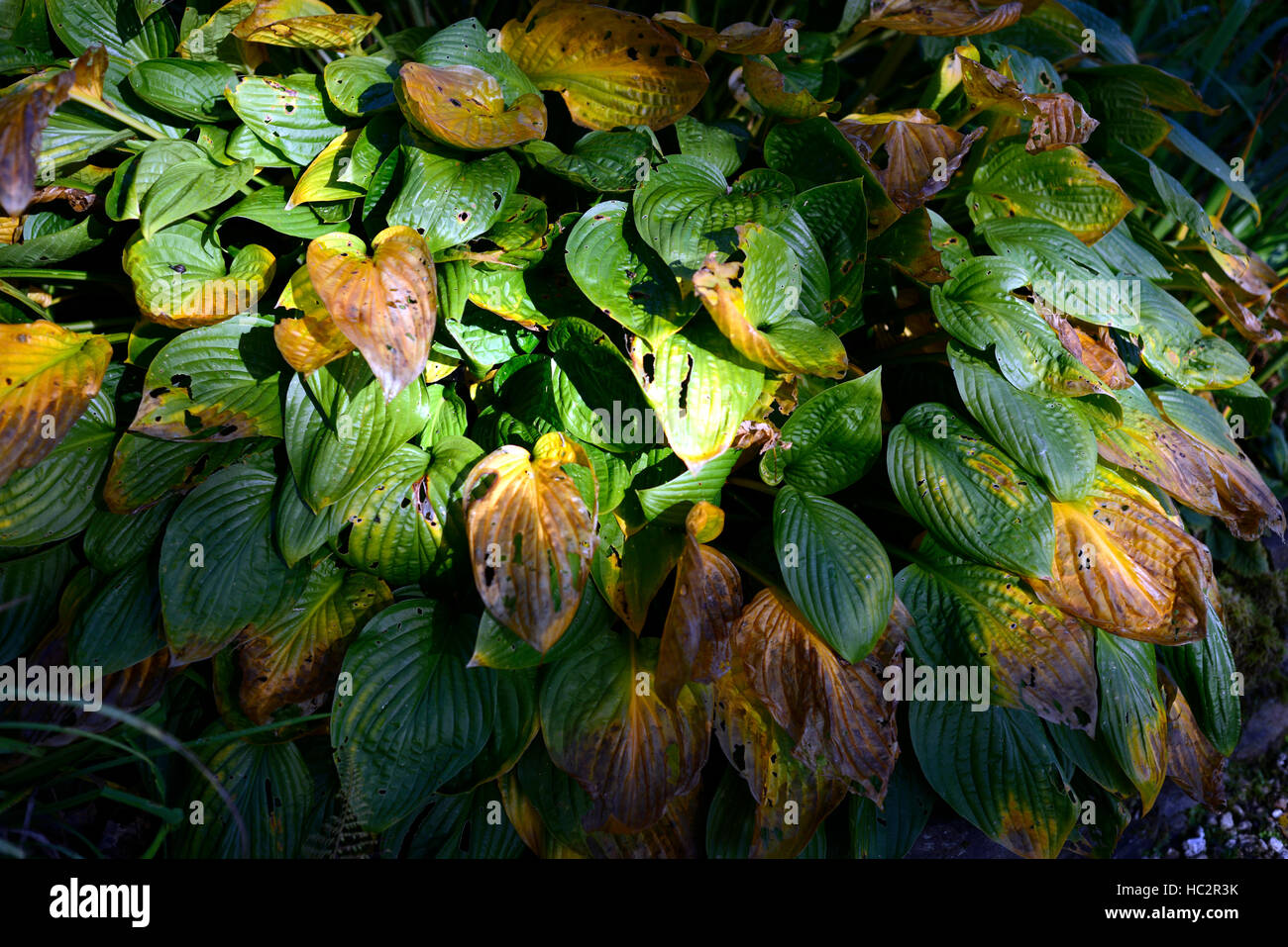 hosta foliage leaves autumn end summer mottled damage damaged colour color change changing shade shaded shady RM - Stock Image