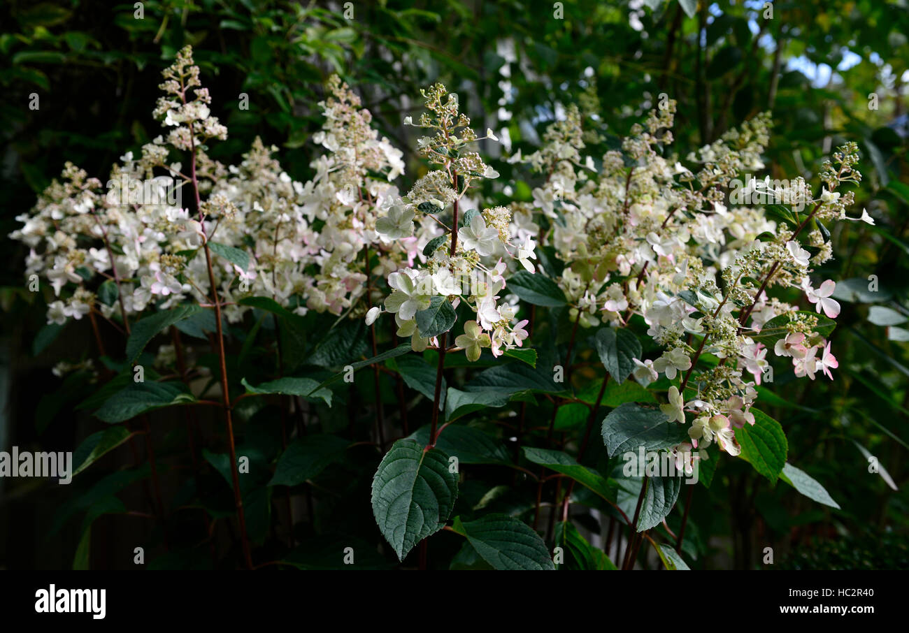 hydrangea pinky winky white flower flowers flowering spike spire floret florets deciduous shrub shrubs floriferous - Stock Image