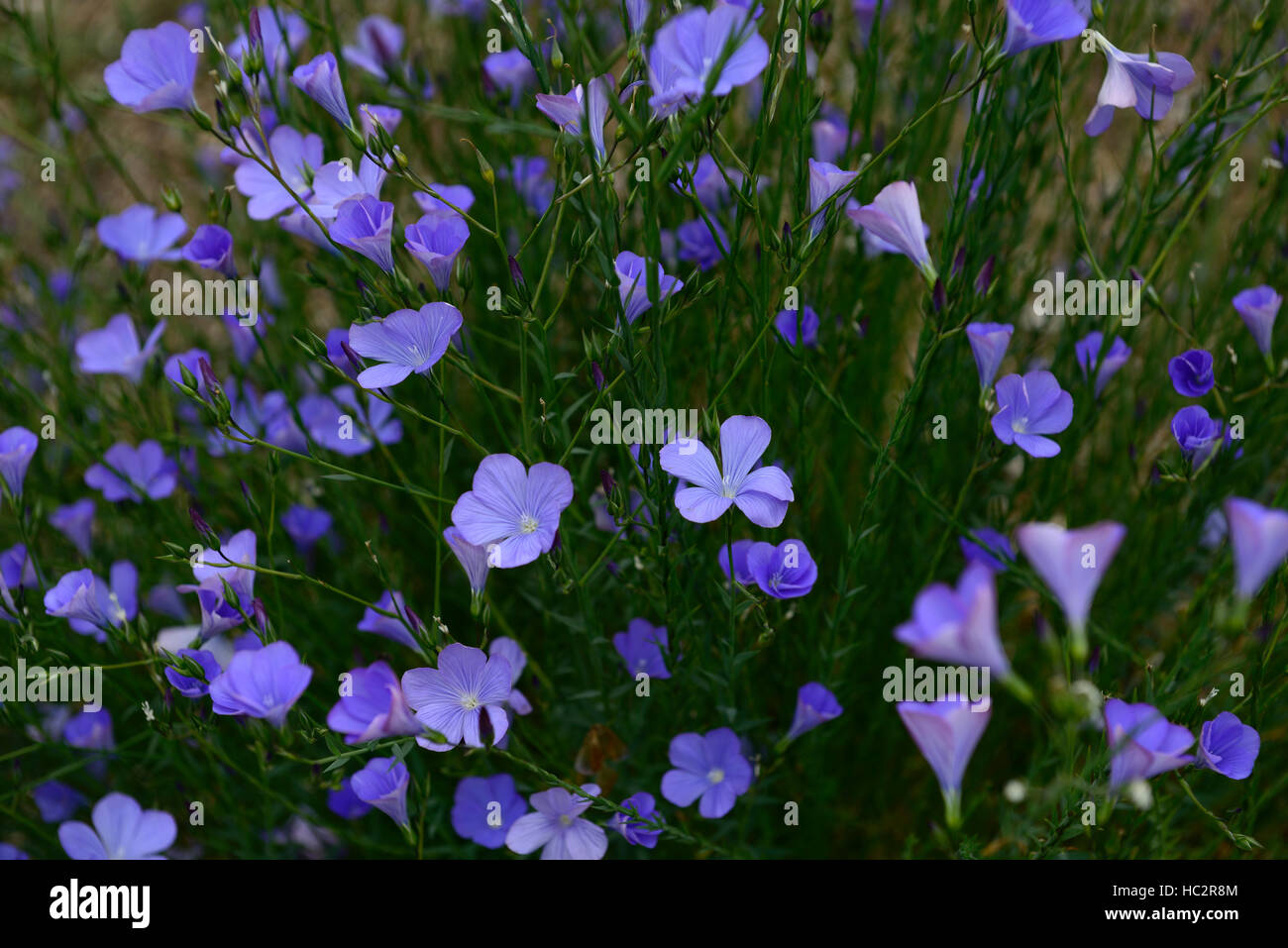 Linum Narbonense Perennial Blue Flax Flower Flowers Flowering Mass