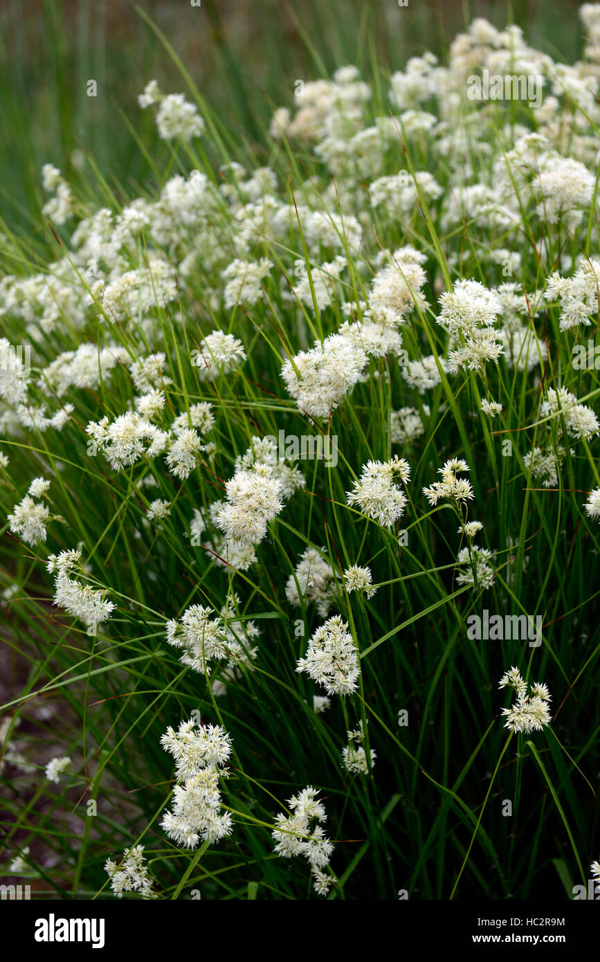 luzula nivea snowy woodrush white flower flowers flowering showy plant perennial perennials RM Floral - Stock Image