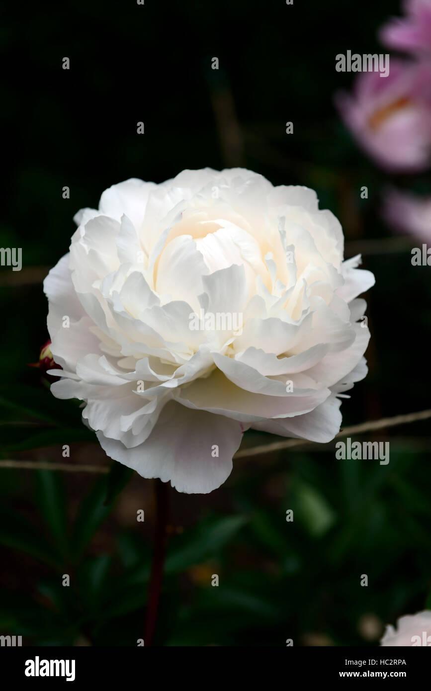 paeonia lactiflora kelways glorious peony peonies white double flower flowers flowering perennial bed border scented - Stock Image