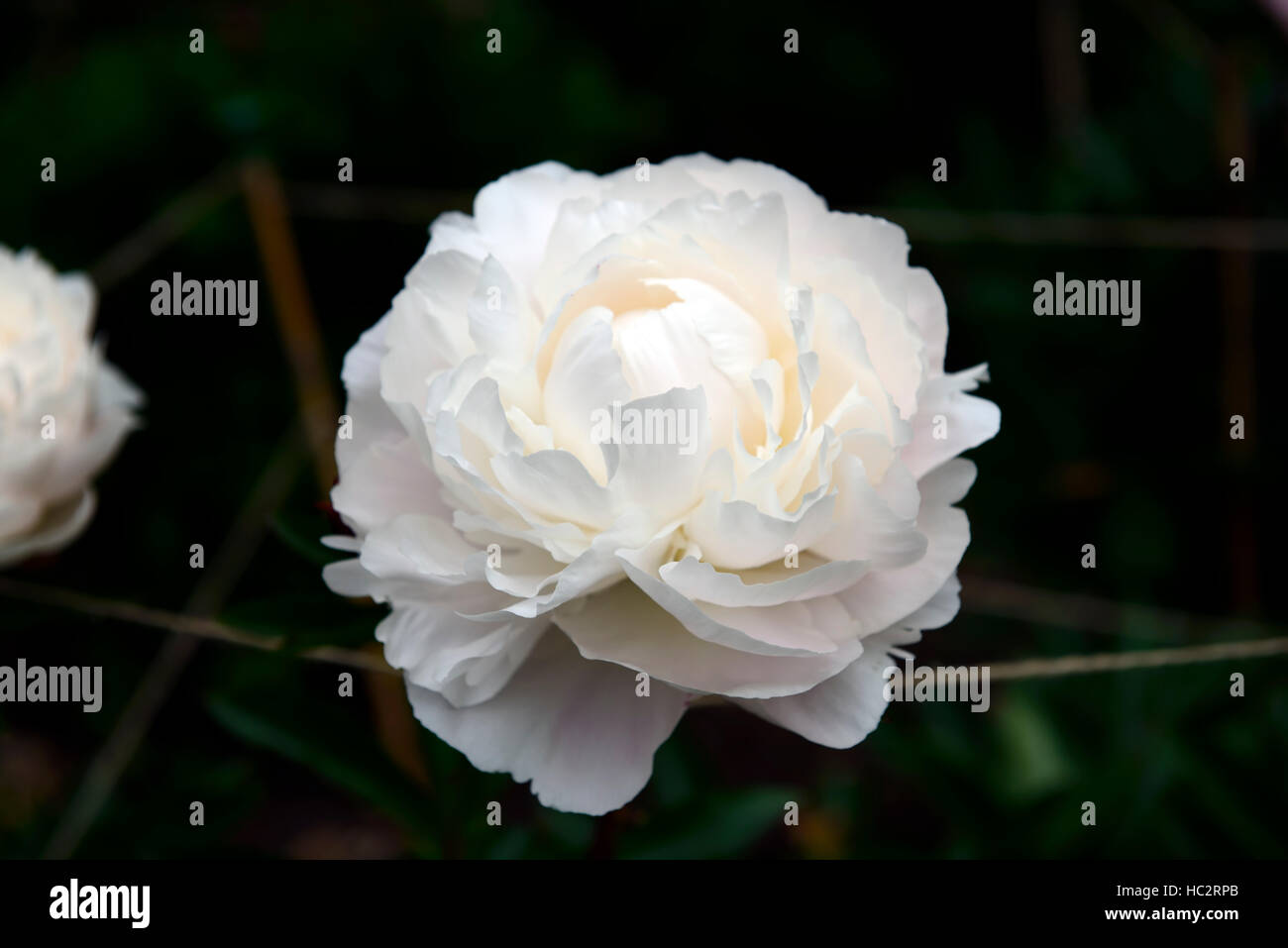 paeonia lactiflora kelways glorious peony peonies white double flower flowers flowering perennial bed border scented Stock Photo