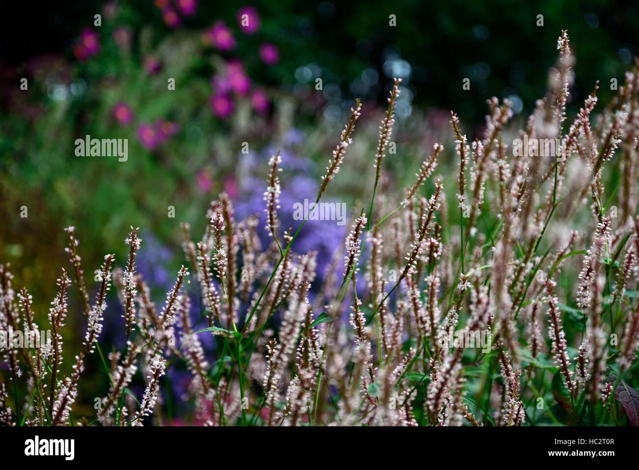Persicaria Amplexicaulis Alba White Perennial Perennials Flower
