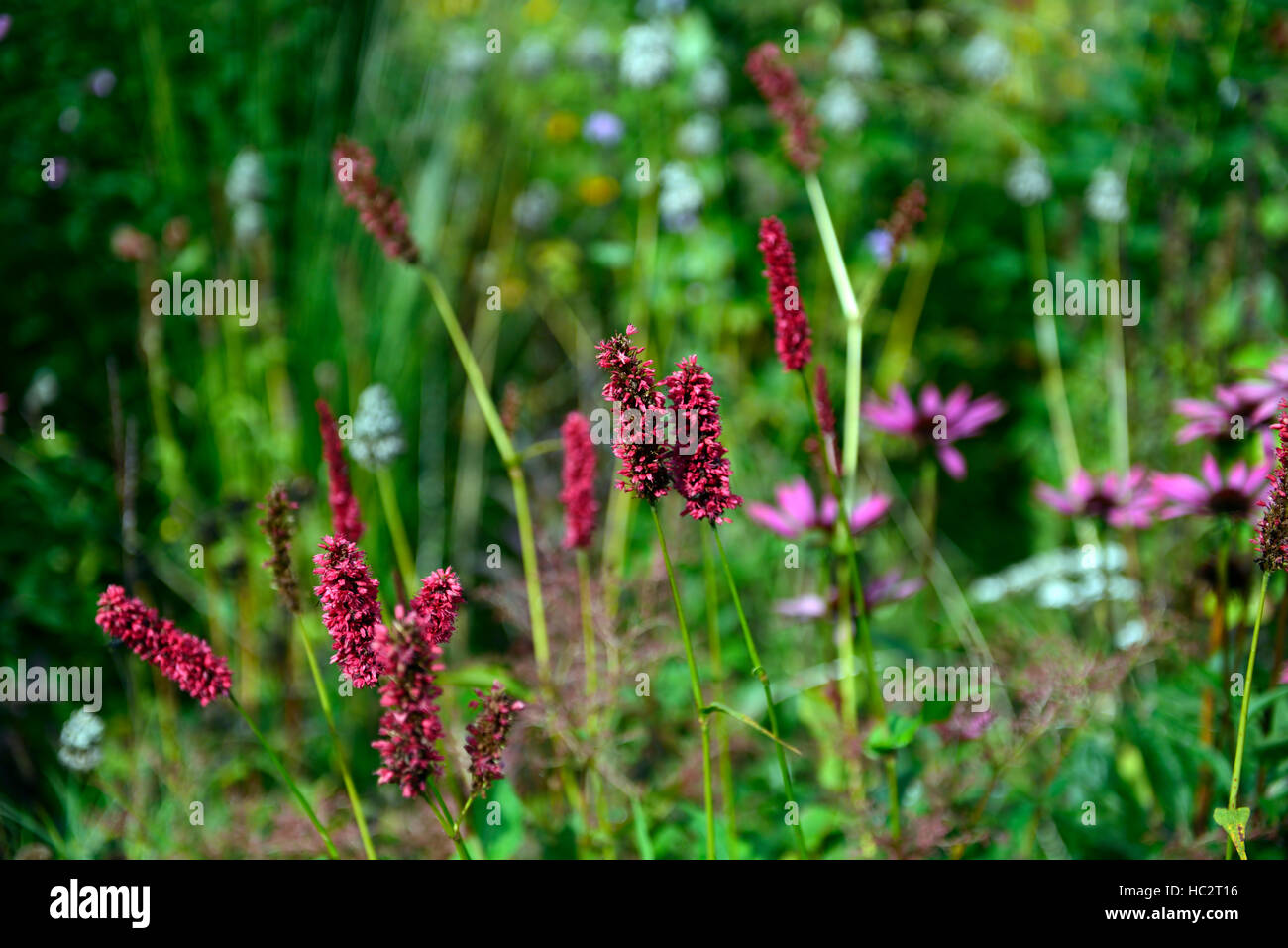 persicaria amplexicaulis Fat Domino red flower late flowering flowers perennial display colour color RM Floral - Stock Image